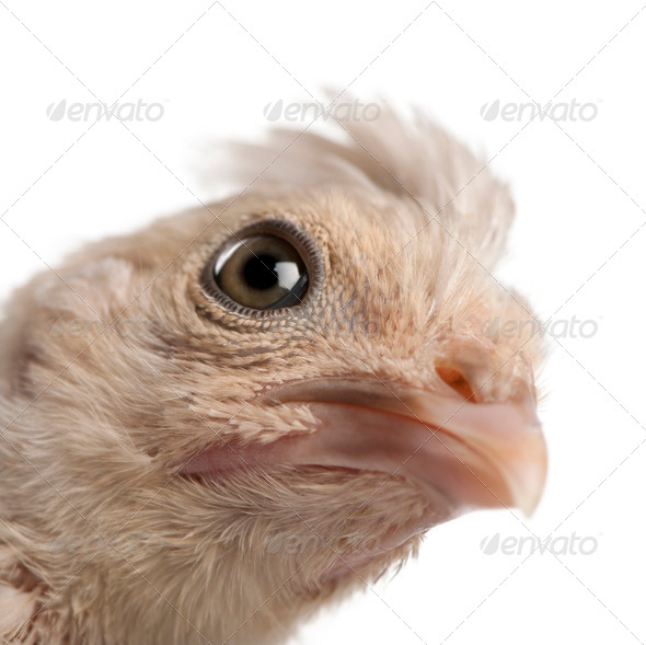 Close-up of Polish Chicken, 23 days old, in front of white background, studio shot - Stock Photo - Images