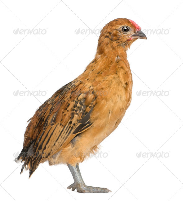 Chick, 30 days old, standing in front of white background - Stock Photo - Images