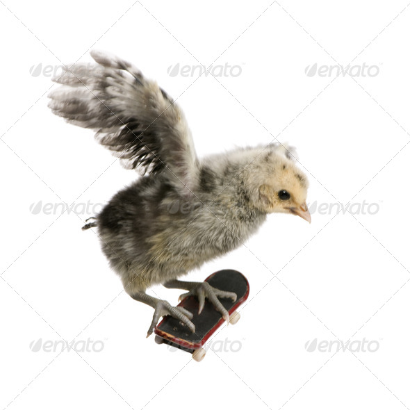 Baby chicken on skateboard in front of white background, studio shot - Stock Photo - Images