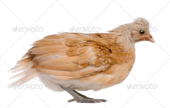 Polish Chicken, 36 days old, standing in front of white background - Stock Photo - Images