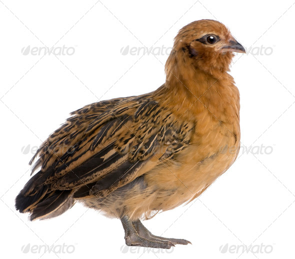 Chick, 36 days old, standing in front of white background - Stock Photo - Images