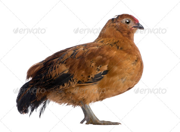 Chick, 44 days old, standing in front of white background - Stock Photo - Images