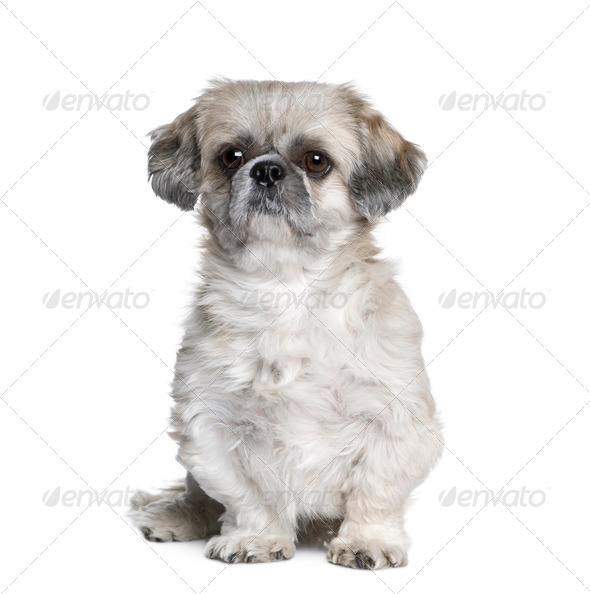 Shih Tzu, 5 years old, sitting in front of white background, studio shot - Stock Photo - Images