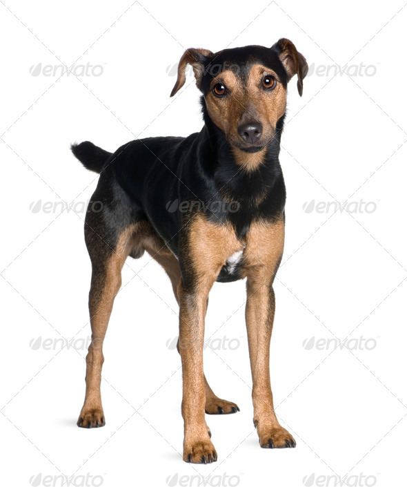 Manchester Terrier, 3 years old, standing in front of white background, studio shot - Stock Photo - Images
