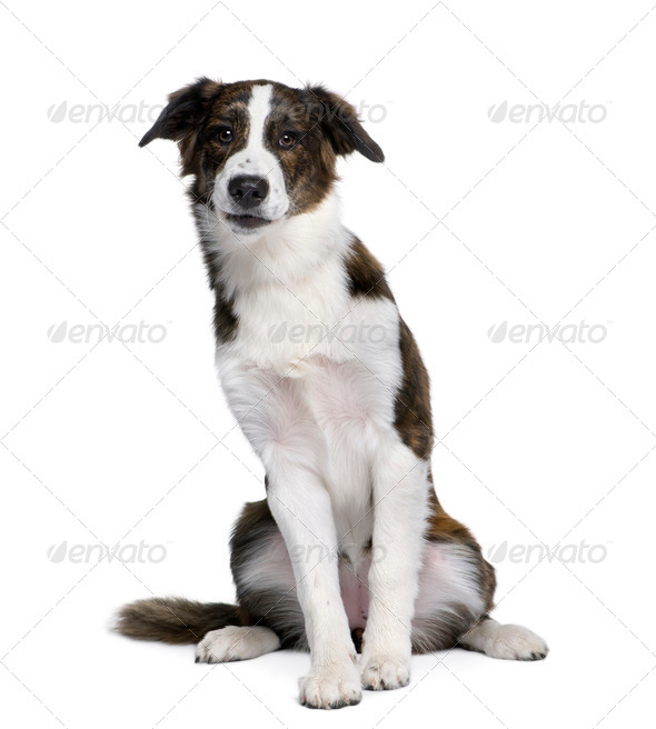 Bastard dog, 6 years old, sitting in front of white background, studio shot - Stock Photo - Images