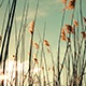 Swinging Reed Grass in the Wind - VideoHive Item for Sale