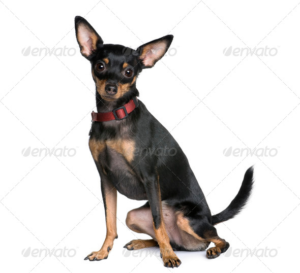 Miniature Pinscher, 2 years old, sitting in front of white background, studio shot - Stock Photo - Images