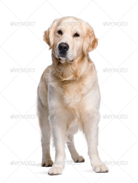 Golden Retriever, 3 years old, standing in front of white background, studio shot - Stock Photo - Images