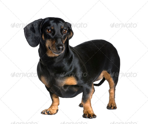 Dachshund, 6 years old, standing in front of white background, studio shot - Stock Photo - Images