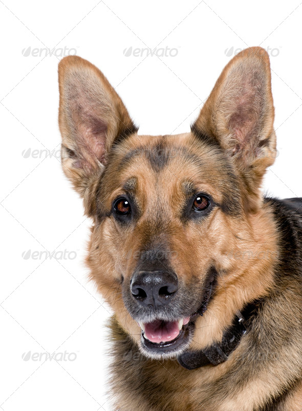 German Shepherd, 9 years old, in front of white background, studio shot - Stock Photo - Images