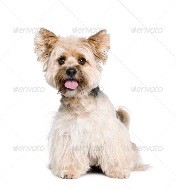 Biewer Terrier, 4 years old, in front of white background, studio shot - Stock Photo - Images