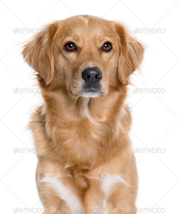 Nova Scotia Duck Rolling Retriever, 5 years old, in front of white background, studio shot - Stock Photo - Images