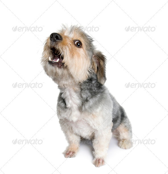 Cross Breed dog barking, 4 years old, in front of white background, studio shot - Stock Photo - Images