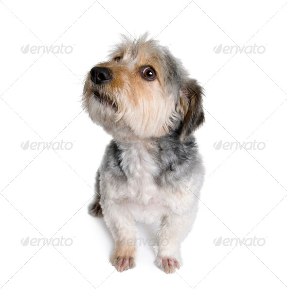 Cross Breed dog, 4 years old, in front of white background, studio shot - Stock Photo - Images