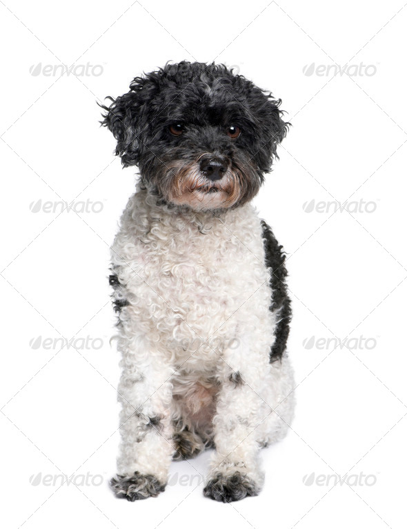 Harlequin poodle, 12 years old, in front of white background, studio shot - Stock Photo - Images