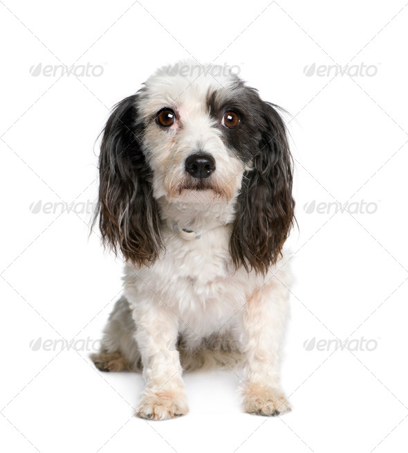 Harvanese Bichon, 4 years old, in front of white background, studio shot - Stock Photo - Images