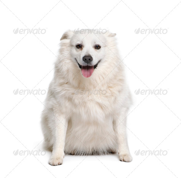 Schipperke, 7 years old, sitting in front of white background, studio shot - Stock Photo - Images