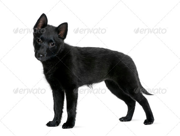 Puppy Spitz, 3 years old, standing in front of white background, studio shot - Stock Photo - Images