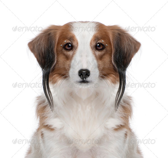 Kooiker Hound with face piercings, 7 years old, in front of white background, studio shot - Stock Photo - Images