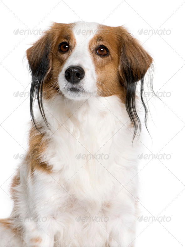 Kooikerhondje dog, 7 years old, in front of white background, studio shot - Stock Photo - Images