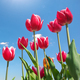 Tulips on blue sky. - PhotoDune Item for Sale