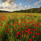 Poppy meadow landscape - PhotoDune Item for Sale