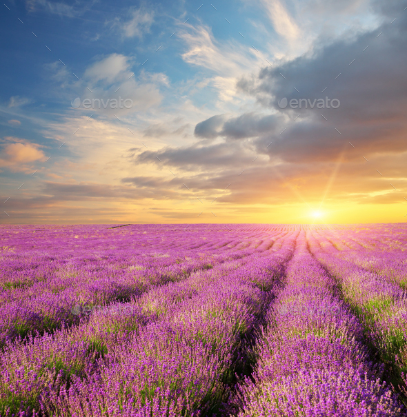 Lavender beautiful meadow. - Stock Photo - Images