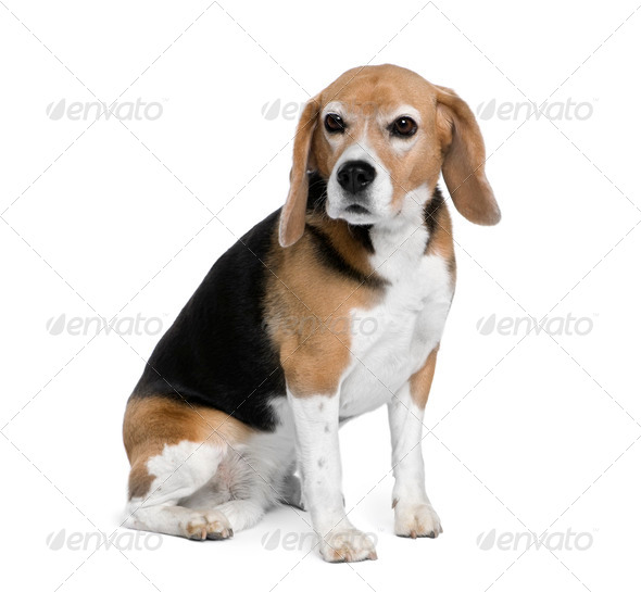 Beagle, 7 years old, sitting in front of white background, studio shot - Stock Photo - Images