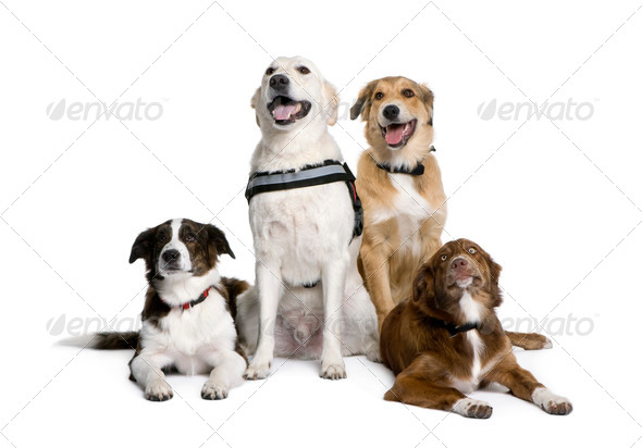 Group of bastard dogs sitting in front of white background, studio shot - Stock Photo - Images