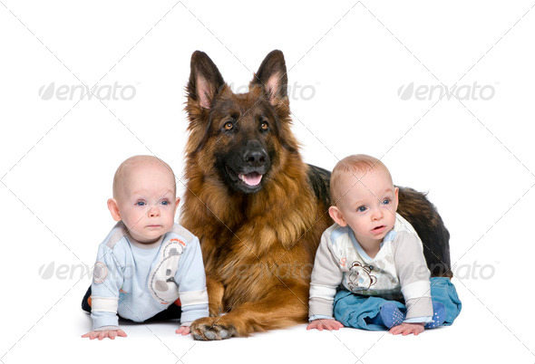 German shepherd dog, 2 years old, with 2 twins boys, 6 months old, in front of white background - Stock Photo - Images