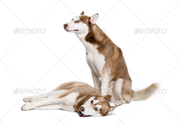 Husky dogs, 4 and 1 year old, sitting in front of white background, studio shot - Stock Photo - Images