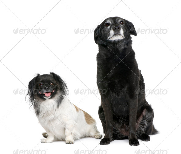 Two bastard dogs, 3 and 11 years old, sitting in front of white background, studio shot - Stock Photo - Images