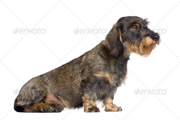 Dachshund, 2 years old, sitting in front of white background, studio shot - Stock Photo - Images
