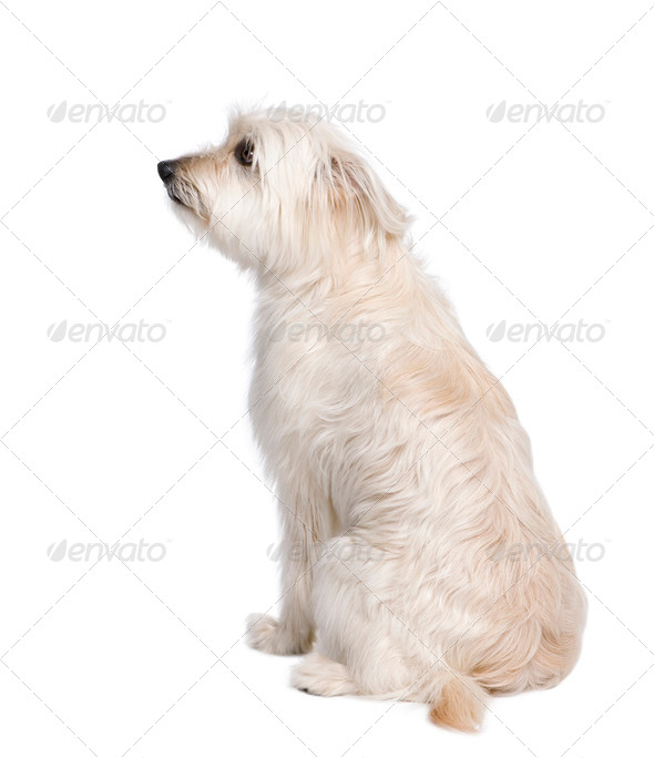 Pyrenean Shepherd, 2 years old, sitting in front of white background, studio shot - Stock Photo - Images