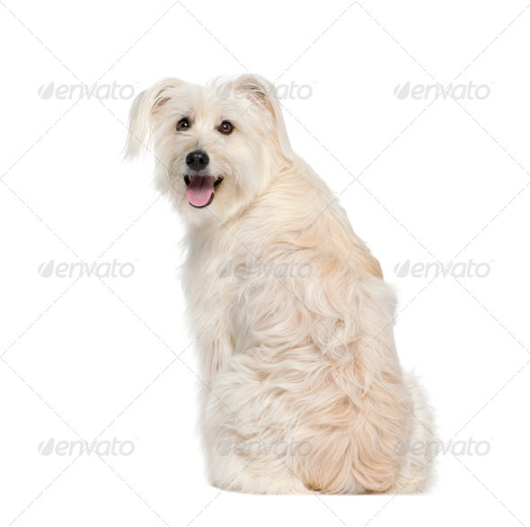 back view of a Pyrenean Shepherd, 2 years old, sitting in front of white background, studio shot - Stock Photo - Images