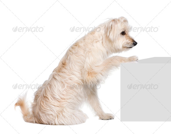 Pyrenean Shepherd, 2 years old, sitting near pedestal in front of white background, studio shot - Stock Photo - Images