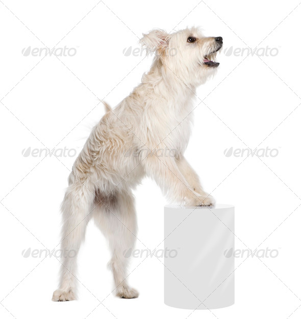 Pyrenean Shepherd, 2 years old, standing near pedestal in front of white background, studio shot - Stock Photo - Images