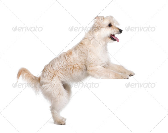 Pyrenean Shepherd, 2 years old, standing in front of white background, studio shot - Stock Photo - Images