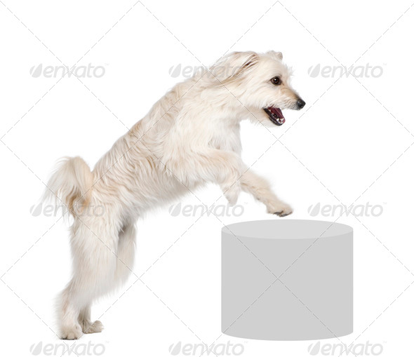 Pyrenean Shepherd, 2 years old, leaping near pedestal in front of white background, studio shot - Stock Photo - Images