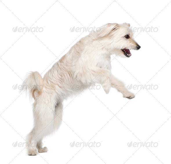 Pyrenean Shepherd, 2 years old, leaping in front of white background, studio shot - Stock Photo - Images