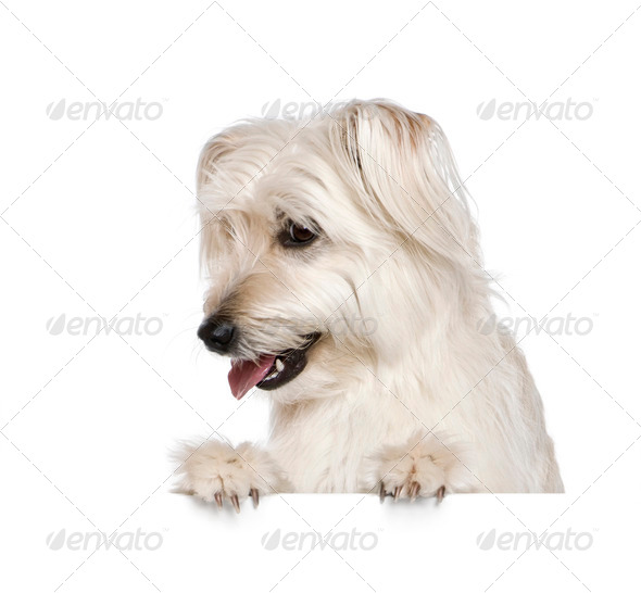Pyrenean Shepherd, 2 years old, in front of white background, studio shot - Stock Photo - Images