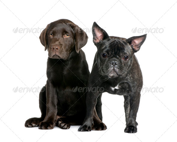 French Bulldog, 1 year old, and Labrador puppy, 10 weeks old, sitting in front of white background - Stock Photo - Images