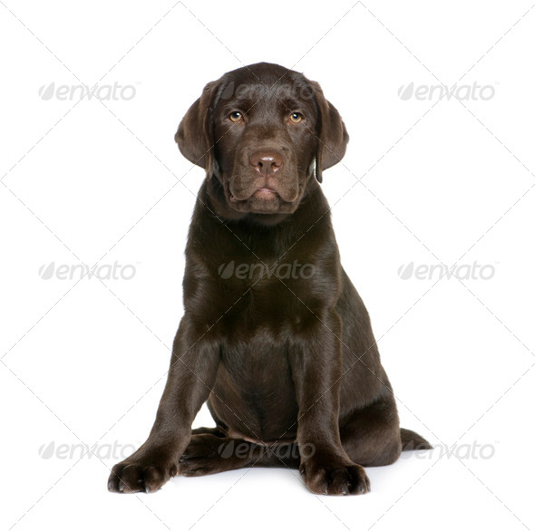 Labrador puppy, 10 weeks old, sitting in front of white background, studio shot - Stock Photo - Images