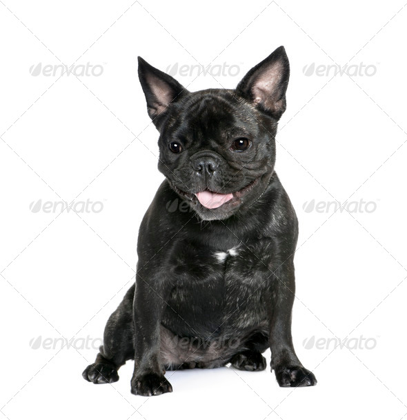French Bulldog, 1 year old, sitting in front of white background, studio shot - Stock Photo - Images