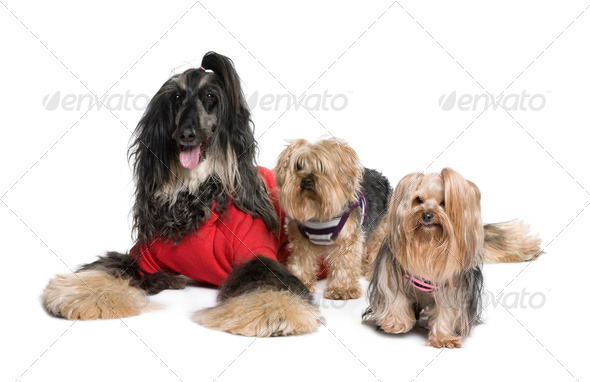 Afghan Hound and Yorkshire dogs sitting in front of white background, studio shot - Stock Photo - Images