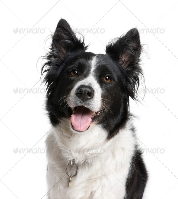 Border Collie, 7 years old, sitting in front of white background, studio shot - Stock Photo - Images