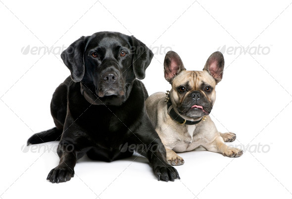 French Bulldog and Labrador sitting in front of white background, studio shot - Stock Photo - Images