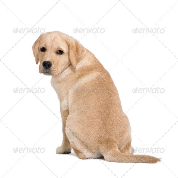 back view of a Cream Labrador puppy, 14 weeks old, sitting in front of white background, studio shot - Stock Photo - Images