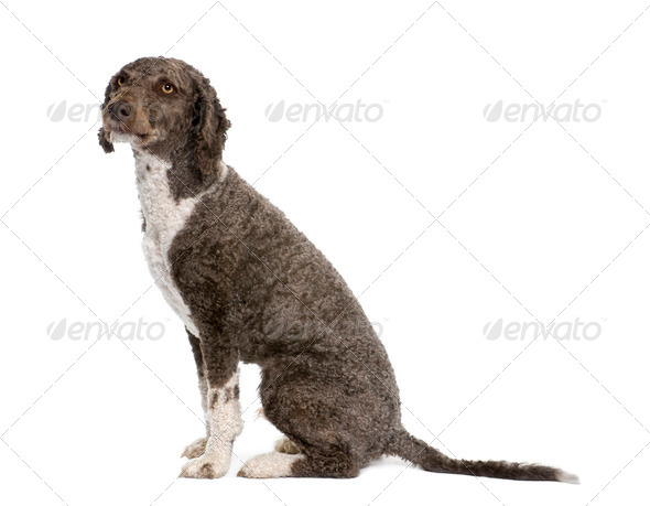 Spanish water spaniel dog, 3 years old, sitting in front of white background, studio shot - Stock Photo - Images