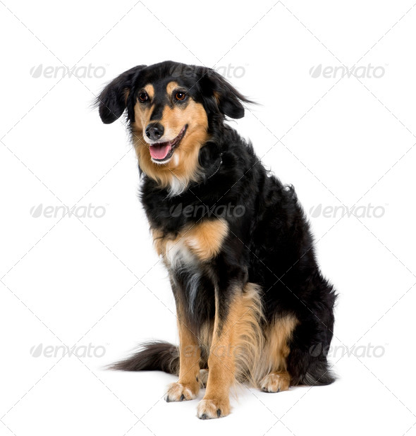 Bastard dog, 8 years old, sitting in front of white background, studio shot - Stock Photo - Images